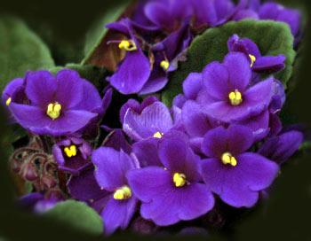 african-violet