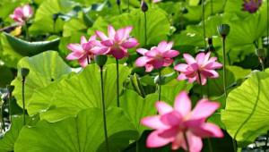 pond_pink_lity_lotus